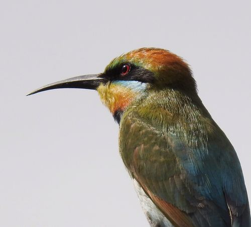 Rainbow Bee Eater Bird One Animal Animals In The Wild Animal Themes Animal Wildlife Beak Close-up No People Day Perching Nature Outdoors White Background Cairns Australia