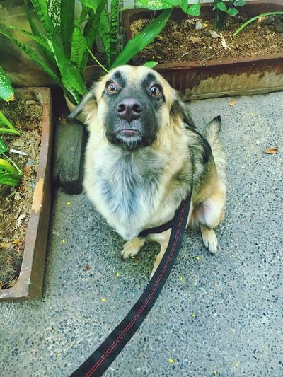 Kuma Dog Pets One Animal Domestic Animals Animal Themes Mammal High Angle View