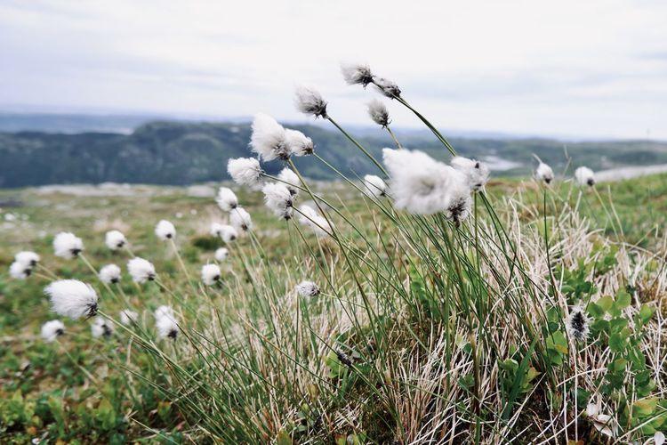 White flowers in field by vidden hiking trail
