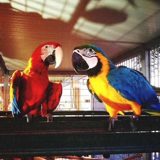 La coppia.. Macaw Bird Perching Parrot Gold And Blue Macaw Multi Colored Cage Pets Scarlet Macaw Close-up