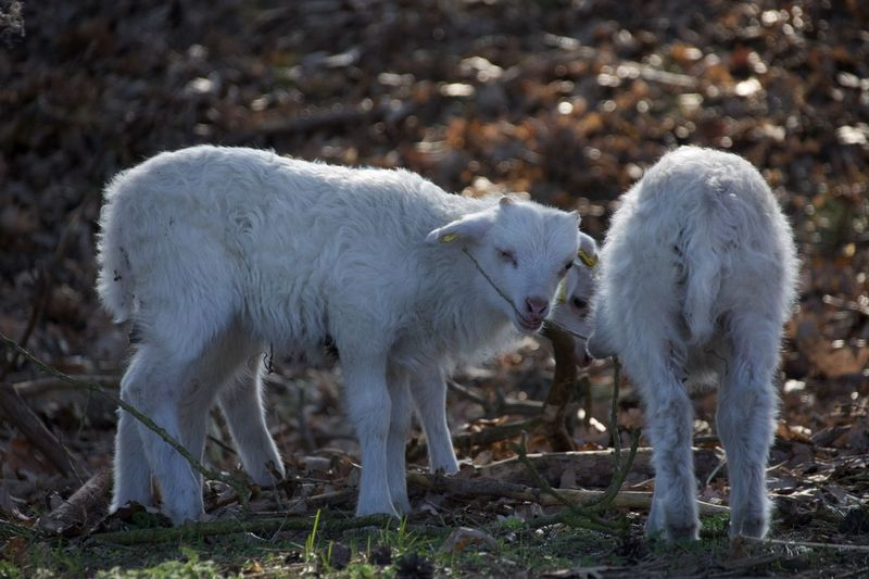 first warm days. The lambs are also looking forward to that🤩 The Purist (no Edit, No Filter) Animal Themes Animal Mammal Vertebrate Livestock Domestic Animals Group Of Animals Land Field Sheep Domestic Pets White Color Nature No People Young Animal Lamb Standing Day