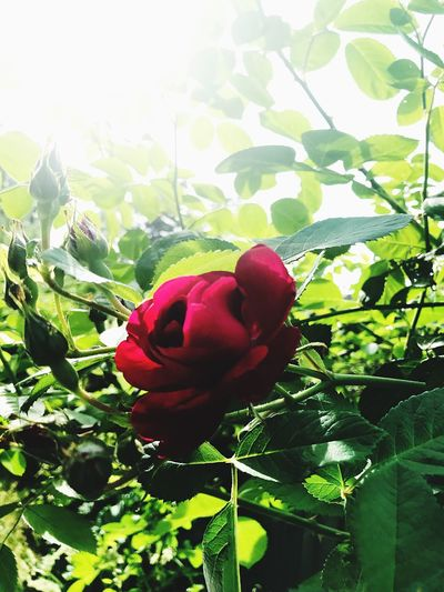 Plant Growth Freshness Leaf Plant Part Beauty In Nature Flower Sunlight Close-up Day Rosé No People Flower Head Nature Fragility