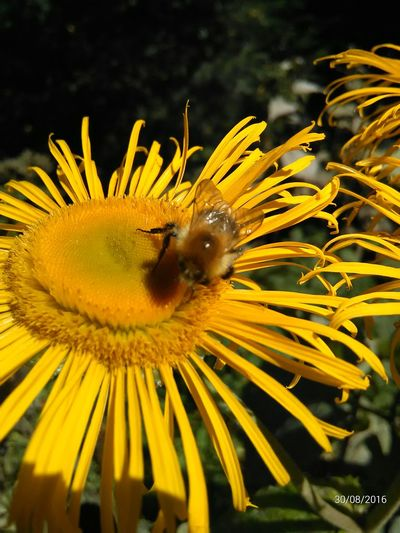 BizzyBee Busy Bee Flower Flower Head Insect Nature Plant Pollen Pollination Sunflower Yellow First Eyeem Photo