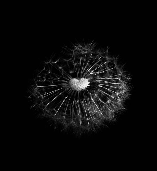 Dandelion Minimalism Minimal Black & White Photography Black&white Dandelion Flower Dandelion Close-up Dandelion Seed Dandelion Black And White Photography Blackandwhite Photography Black Blackandwhite Flowering Plant Flower Head Flower Black & White Abstract EyeEm EyeEm Vision Event Motion Arts Culture And Entertainment Firework Display Illuminated No People Nature Glowing Outdoors Backgrounds Black Background
