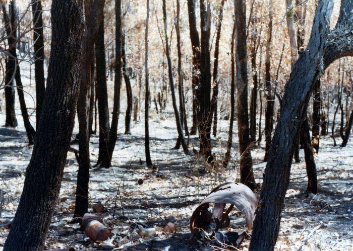After Bushfire Victoria Australia Trees