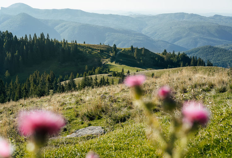 Scenic view of pink thistle flowers and mountains