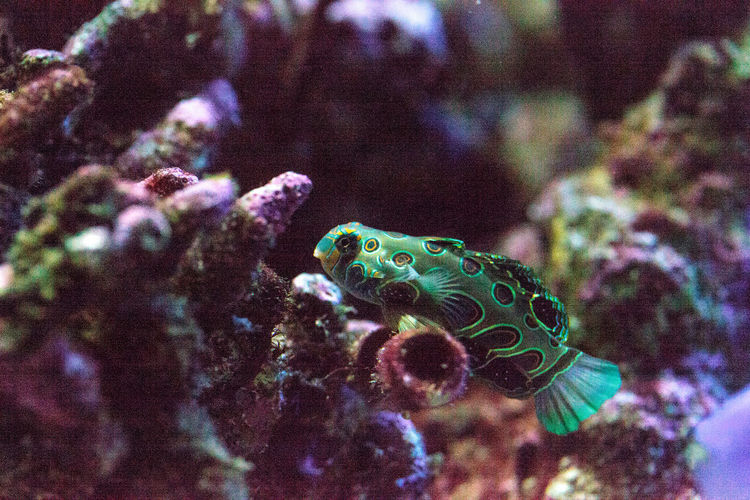 Picturesque Dragonet fish Synchiropus picturatus swims over a coral reef Animal Themes Animal Wildlife Animals In The Wild Close-up Day Dragnet Fish Nature No People One Animal Picturesque Dragonet Psychedelic Mandarin Spotted Mandarin Synchiropus Picturatus Target Mandarin Tropical Fish UnderSea Underwater
