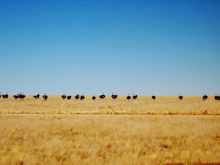 View of ostriches in field against clear blue sky