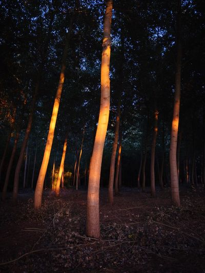 Sunrays Light And Shadow Darkness Sunlight Forest Land Tree Forest Night Nature Plant Trunk Tree Trunk Tranquility Environment Beauty In Nature Illuminated Fire Orange Color