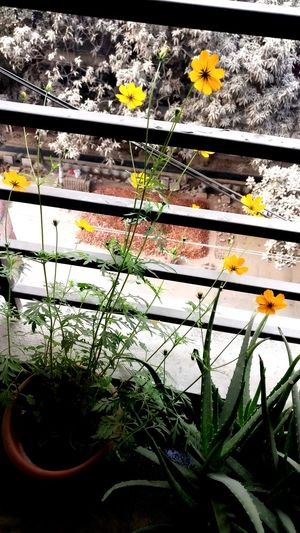 Cosmos Bangladesh 🇧🇩 Decorations 🎭 Sky And Clouds Yellow Yellow Flower Cosmos Flower EyeEm Selects Gardening Livelihood EyeEm Nature Lover Plant Growth Day No People Nature Outdoors Flower