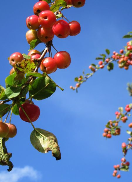 Crab apples Apple Autumn Beauty In Nature Branch Close-up Crab Apples Day Focus On Foreground Freshness Fruit Growth Leaf Low Angle View Nature Outdoors Red Sky Tree