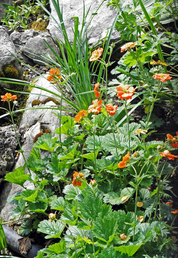 Spring at Zagreb's Botanical garden,geum chiloense 'princes juliana',flora,3 Botanical Garden Europe Zagreb, Croatia Beauty In Nature Day Flora Flowers Fragility Freshness Gardening Geum Chiloense Horticulture Leaves Nature Orange Color Outdoors Park Petals Plants Spring Tranquility