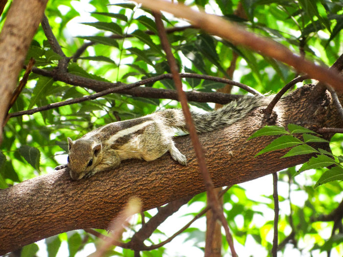 RELAXING SQUIRREL ON SUNNY DAY Relaxing Squirrel Relaxing Branches Of Trees Sunnyday Scorching Sun Tree Reptile Branch Climbing Close-up Green Color Woods Rainforest Tree Trunk Tree Canopy  Tropical Rainforest