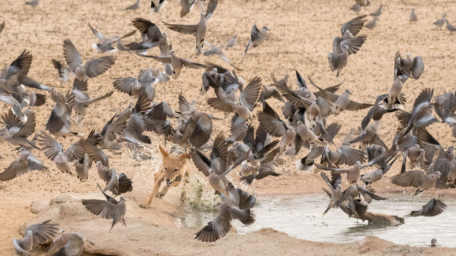 Birds flying around lioness at lake