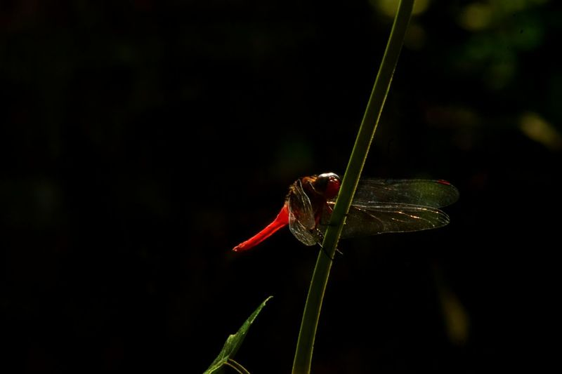 ..wHen.. iM.. lOOkinG.. anD.. ListEninG.. fOr.. tHat.. peacE.. iN.. mY.. heaRt... Silence Lonely Insect Red Animal Themes Nature Day Black Background Dragonfly Expressions Simple Quiet Love Colorful Exceptional Photographs EyeEm Gallery Eye Em Nature Lover First Eyeem Photo Fine Art Light And Dark Kerala Silence Of Nature In My Point Of View Beauty In Nature Outdoors Close-up Alone