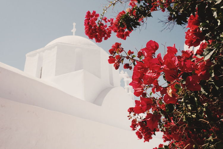 Church in Chora, Amorgos island Beauty In Nature Close-up Day Flower Flower Head Fragility Freshness Growth Leaf Nature No People Outdoors Plant Red Sky Tree White Color