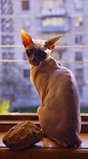 Portrait Of Sphynx Sitting On Window Sill
