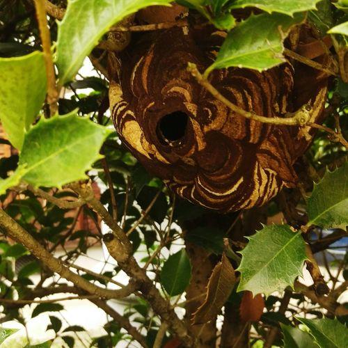 小型スズメバチの巣 スズメバチ Wasp Honeycomb Honet