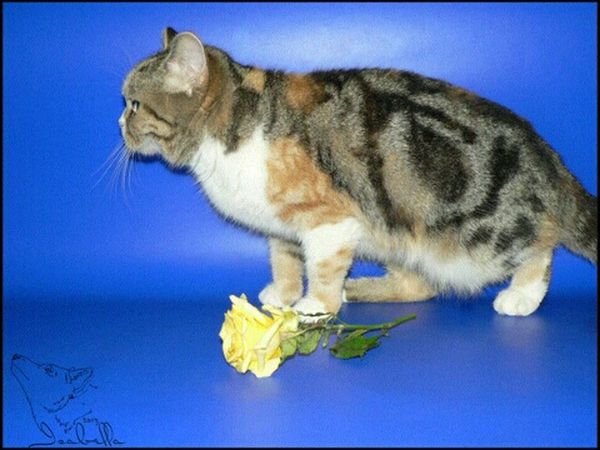 Скарлетт кошка Cat британка британская мраморная черепаха черепаховая
