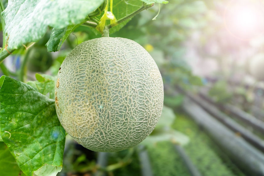 Melon product from hydroponic planting Agriculture Aquaponic Day Food Food And Drink Freshness Fruit Fruits Greenhouse Growth Hydroponic Vegetables Hydroponics Leaf Melon Plant Sweet Tree Tropical