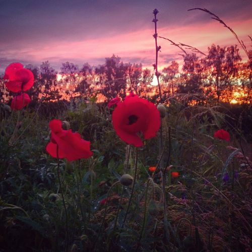 природароссии Poppies  маки лето Sunset_collection Summer поле Field Nature On Your Doorstep Holiday POV