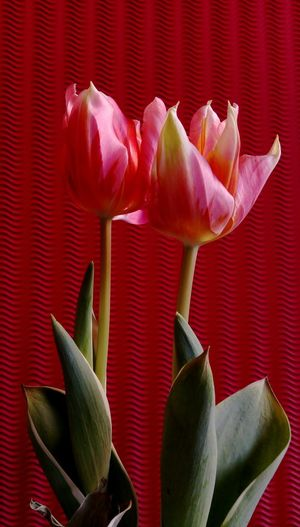 No People StillLifePhotography Nature_collection Tulpe Im Licht Red Tulips Up Close Red Color Colorful Background Tulips🌷 Red Flowers Closeup Indoors  Tulpenblüte Verblühte Tulpen Flower Flower Head Red Studio Shot Leaf Beauty Petal Close-up Plant Life In Bloom Blooming Blossom