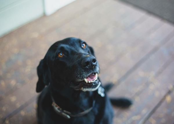 Always on the beg... Labrador Lab Blacklab Dog Canine One Animal Pets Domestic Mammal Domestic Animals No People Focus On Foreground Black Color Animal Themes Animal Animal Head