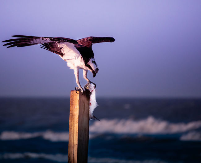 Osprey, birds and beach, birds of prey, fish, fishing, bird eating fish, The Great Outdoors - 2019 EyeEm Awards