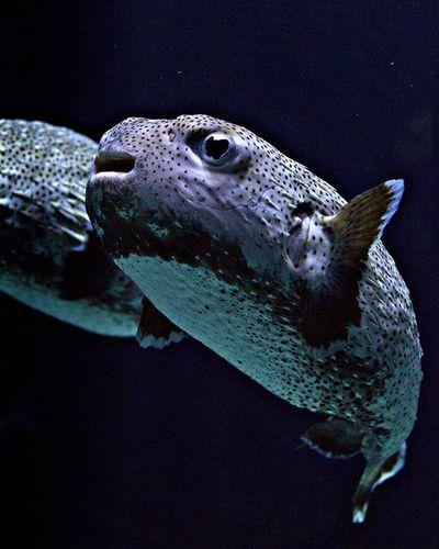 Ohai there! Fish Baltimoreaquarium Aquarium Underwater Seacreatures Nofilter Noflash Lowlight Largeaperture Dark Funny Funnyface FunnyFaces Funnyfish Fins Tail Scales