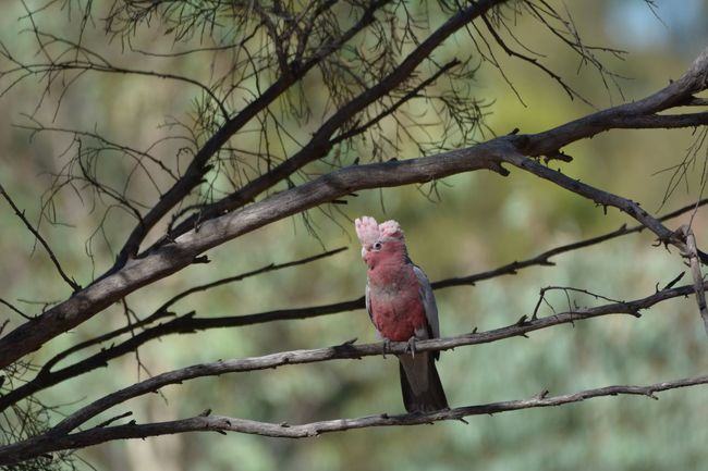 Galah Bird Bird Branch Animal Themes One Animal Tree Perching Animals In The Wild No People Bare Tree Red Animal Wildlife Nature Outdoors Day Close-up