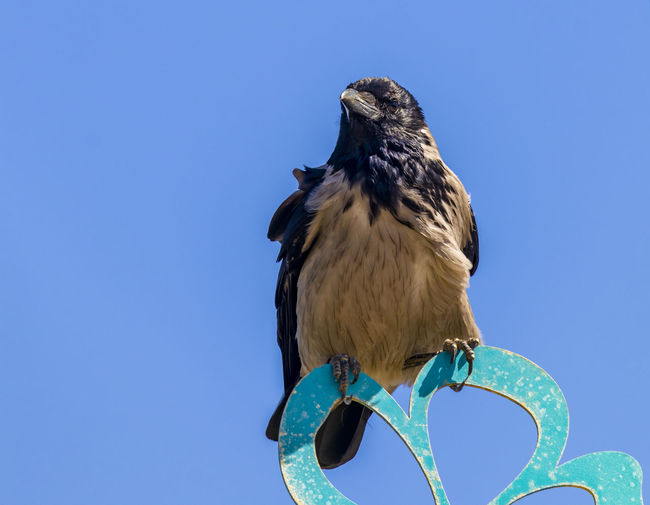 Low angle view of eagle perching on blue sky