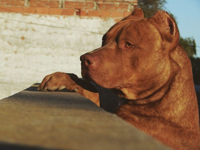 Homero Pitbull Rednose  Canela Strong Crazy Pitbull Love Love Baby 🎈👻
