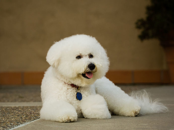 Bichon dog portrait Bichon Frise Dog Toy Dog Group Animal Themes Bichon Bichon Frise Close-up Day Dog Domestic Animals Mammal No People Non-sporting One Animal Pets White Color