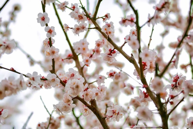 Plum Blossom Blossom Flowers Flower Collection Flowerporn Nature EyeEm Nature Lover Nature_collection Nature Photography Taking Photos EyeEm Best Shots EyeEm Gallery From My Point Of View The Week on EyeEm Tree Branch Plant Growth Flower Flowering Plant Blossom Beauty In Nature Freshness Nature White Color Fragility Springtime