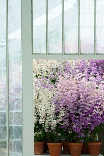 huge group of poor mans orchids Beauty In Nature Flower Flowering Plant Fragility Growth Mauve  Mauve Flower Nature Plant Poor Man´s Orchid Pots Potted Plant Purple Window Windows