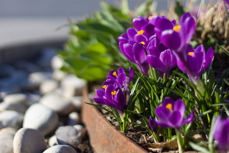 Flower Flower Head Crocus Purple Shadow Close-up Plant Landscape Botanical Garden Flowering Plant Blossom Blooming Plant Life In Bloom