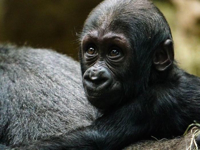 Close-up portrait of baby gorilla
