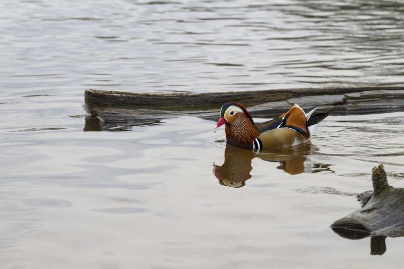 Animal Themes Animal Wildlife Animals In The Wild Bird Cute Duck Duckling Mandarin Duck Nature Richmond Park, London Water Water Bird
