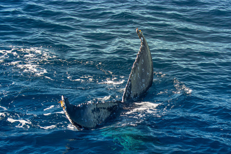 View of humpback tail fin