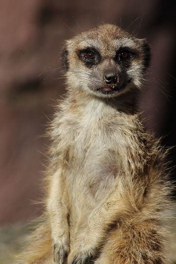 Meerkat Sitting Animals In The Wild Animal Wildlife Outdoors Close-up Most Stunning Shot ForTheLoveOfPhotography Streamzoofamily Beauty In Nature Looking At Camera Animalsposing