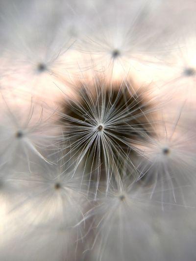 Full frame shot of dandelion flower