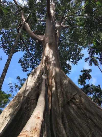 Giant Tree Rainforest Big Tree Giant Tree Buttress Roots Tree Low Angle View Plant Trunk Tree Trunk Growth Day
