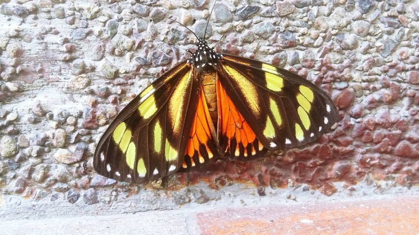 Monarch Butterfly Insect Beautiful Wings