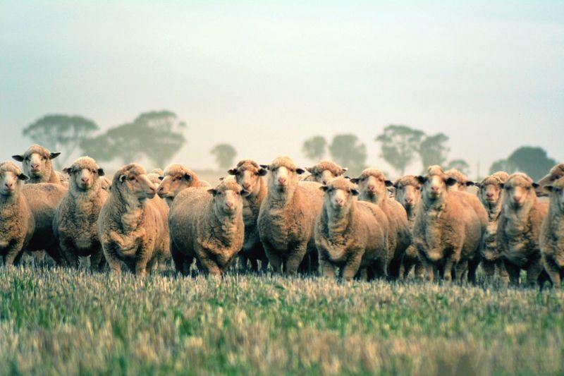 Flock of sheep in a field