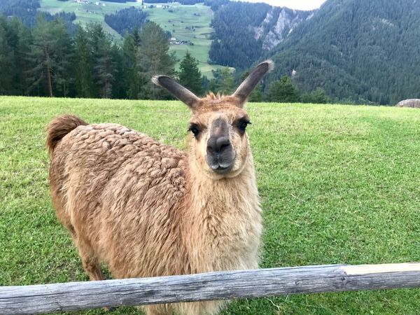 Dolomites, Italy Llama Grass Animal Themes Animal Plant Mammal Field Nature One Animal Land Domestic Animals Portrait Green Color No People Looking At Camera