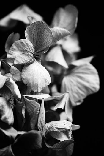 Black and white hortensia EyeEm Best Shots Sensual_photo Macro Photography Macro Leaves Hortensia Black And White Bnw Blackandwhite Plant Flowering Plant Petal Close-up Beauty In Nature Flower Growth Vulnerability  Fragility Freshness No People Selective Focus Studio Shot Plant Part EyeEmNewHere EyeEmNewHere Capture Tomorrow