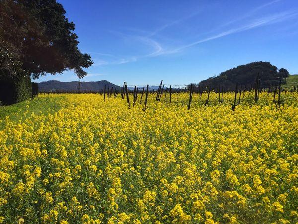 Wild Mustard Mustard Fields Mustardgreens Napa Valley Enjoying Life Taking Photos Sf Bay Area Nature Photography Naturelovers Relaxing ShotOniPhone6 IPhoneography