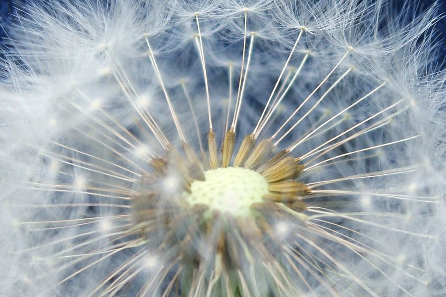 Fragility Dandelion Beauty In Nature Close-up Flower Dandelion Seed Nature Flower Head Maximum Closeness Nature Outdoors Dandelion Seeds Dandelion Macro Dandelion Close-up Dandelion Collection Flower Photography Dandelionfluff Dandelion Seed Dandelion Seed Head A Closer Look