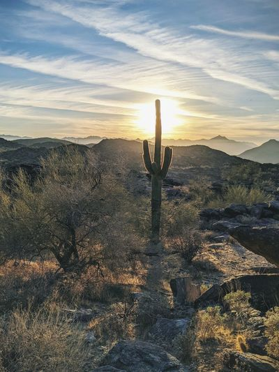 Cactus growing on land against sky during sunset