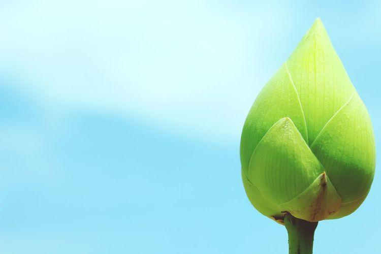 Lotus Close-up